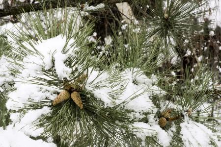 havas fenyőágak - szendreigabor.hu