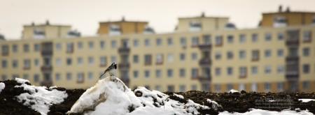 Barázdabillegető madár - fotó: Szendrei Gábor