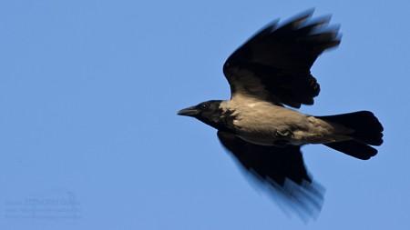 Dolmányos varjú - fotó: Szendrei Gábor