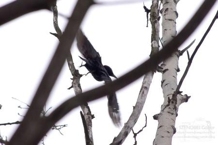 Fekete harkály repül - fotó: Szendrei Gábor