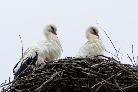 Fehér gólyák - fotó: Szendrei Gábor
