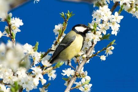 Széncinege tavasszal - fotó: Szendrei Gábor