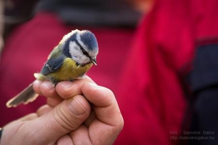 Karácsonyi madarásznap a Farkaserdőben Kék cinege : Fotó: Szendrei Gábor