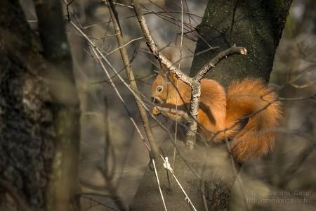Karácsonyi madarásznap a Farkaserdőben Mókus : Fotó: Szendrei Gábor