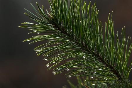 Karácsonyi madarásznap a Farkaserdőben Fenyőág : Fotó: Szendrei Gábor