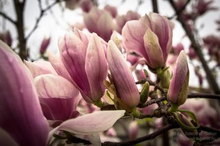 Magnólia/Liliomfa virág képek - fotó: Szendrei Gábor